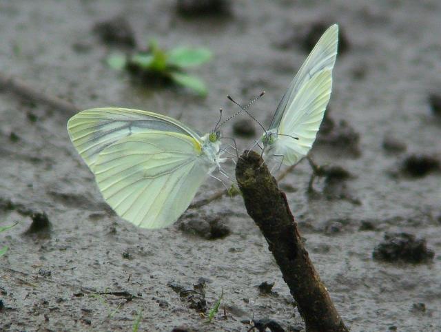 蝶:クリックして大きな画像でご覧下さい